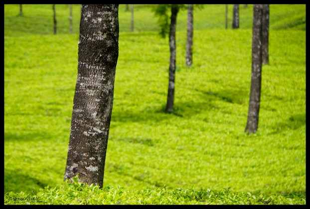 Trees in the tea