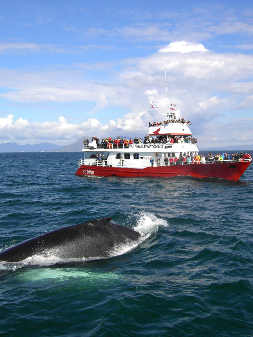 10 things not to miss in Iceland: Whale Watching Iceland