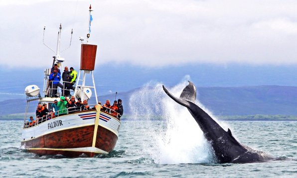 Iceland Whale Watching