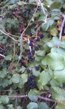 A blackberry picker's dream!