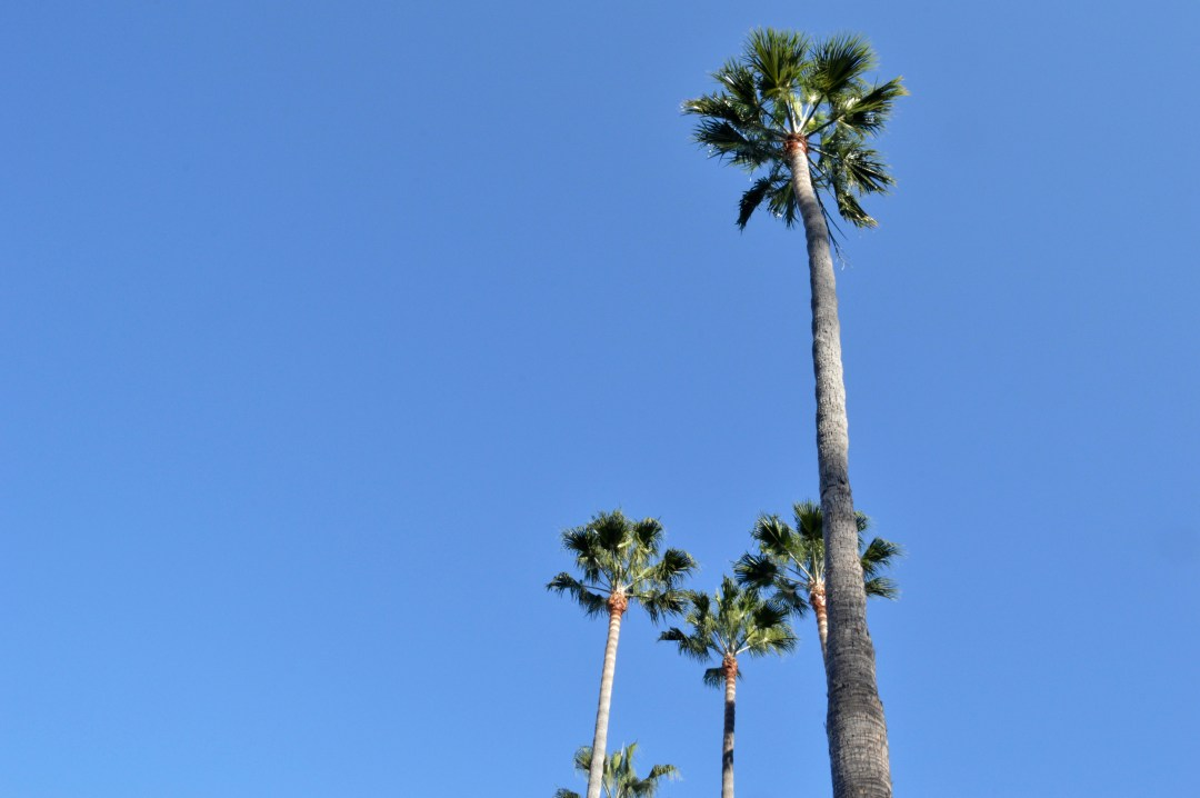Palm Trees Santa Monica California Los Angeles