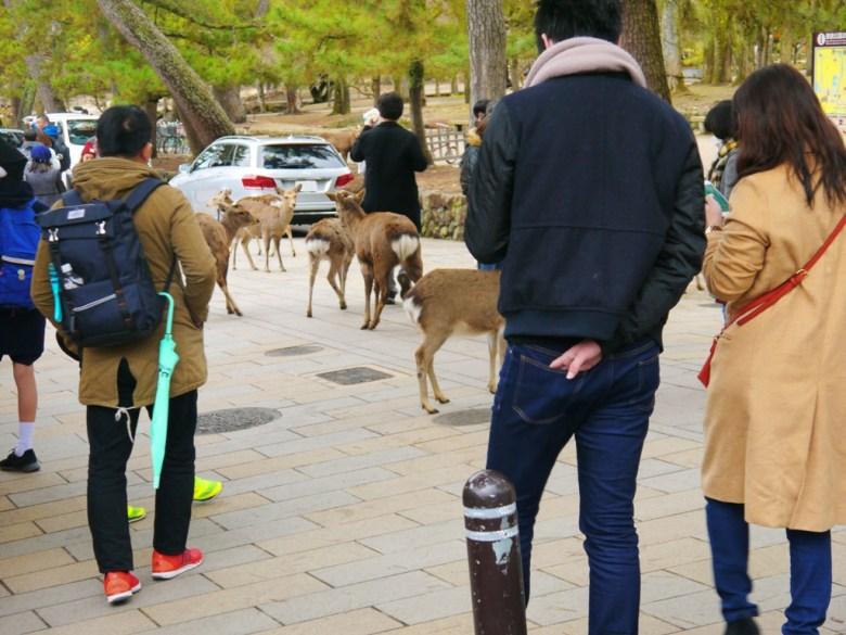 梅花鹿 | Sika deer | 奈良 | 日本 | 巡日旅行攝