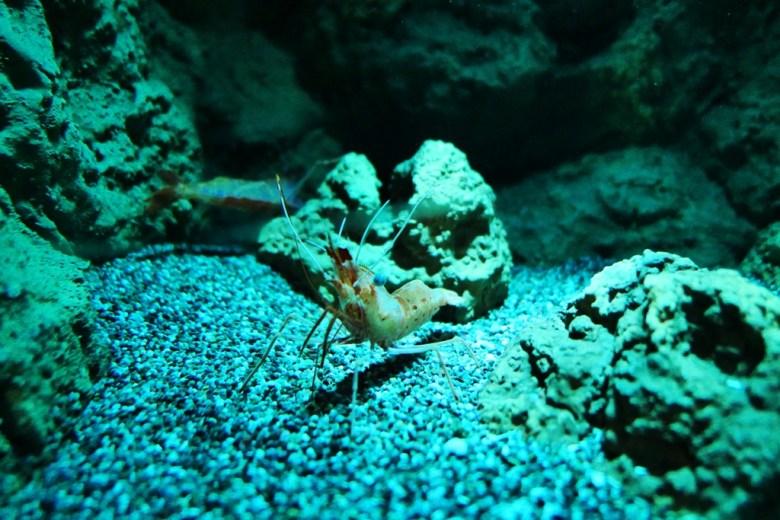 高背長額蝦 | Botan Shrimp | Xpark | Zone 6 | Taiwan | RoundtripJp