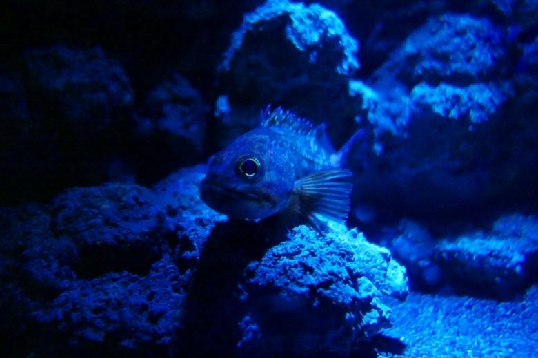 赫氏無鰾鮋 | Stonefish | Xpark | Zone 6 | Taiwan | RoundtripJp