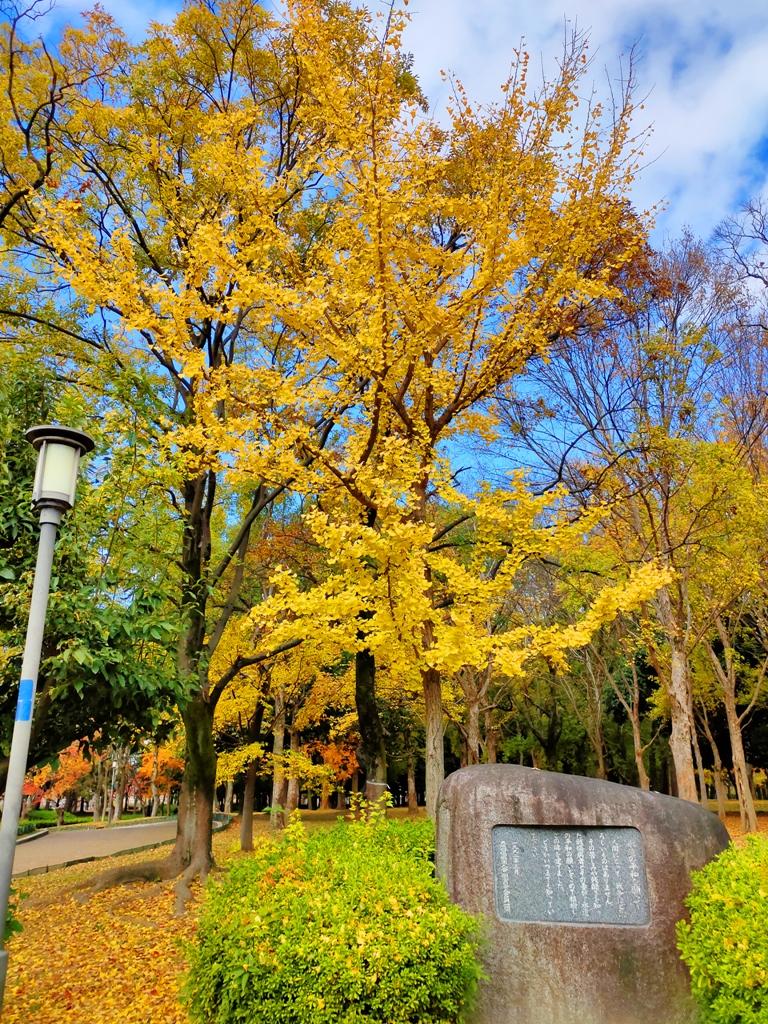 銀杏 | おおさかじょうこうえん | 大阪城公園 | 大阪 | 近畿(關西) | 日本 | 巡日旅行攝