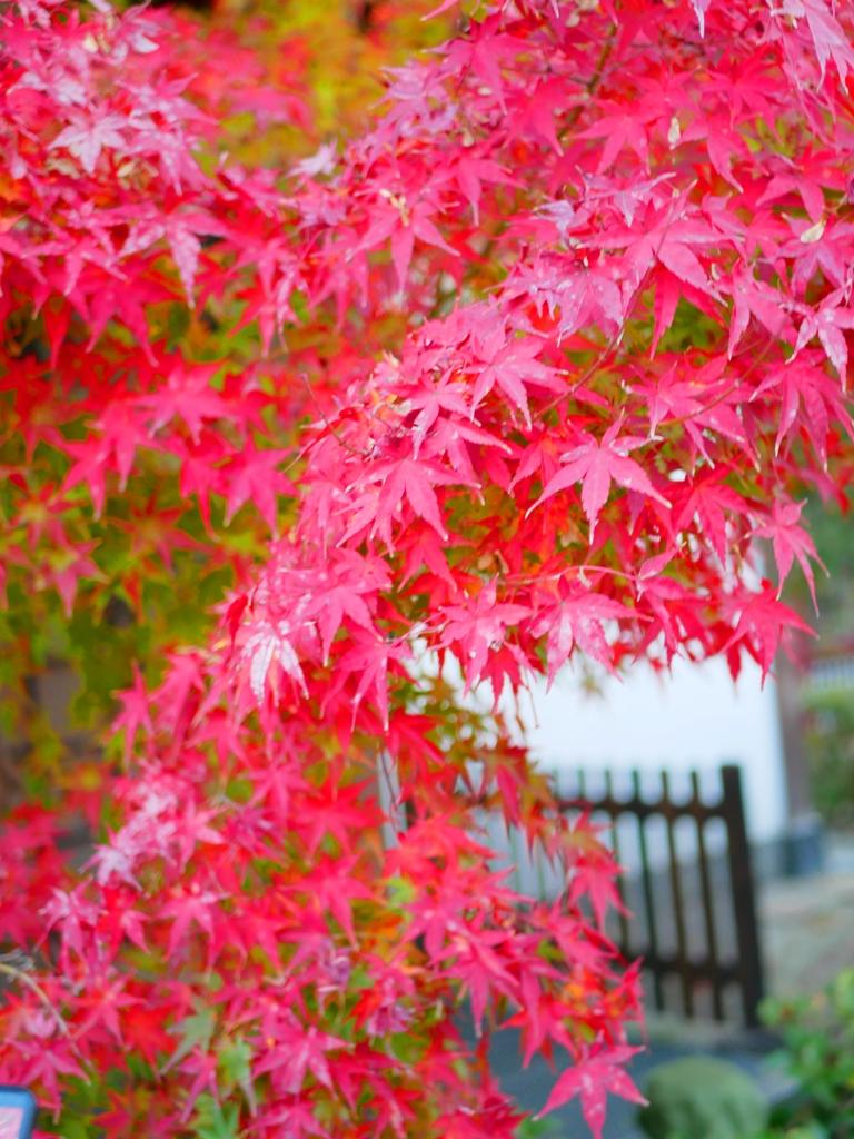 楓葉 | やさかじんじゃ | 八坂神社 | 京都 | 近畿(關西) | 日本 | 巡日旅行攝