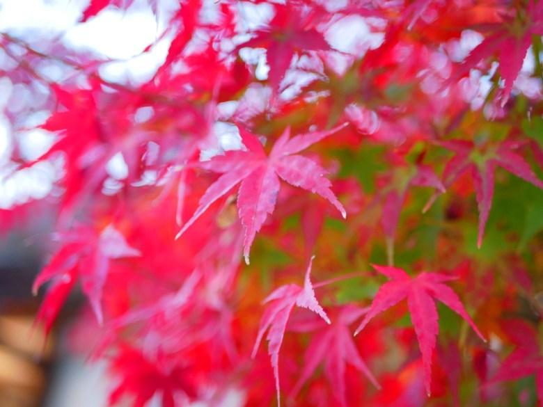 Maple | やさかじんじゃ | 八坂神社 | Kyoto | Kansai | Japan | RoundtripJp