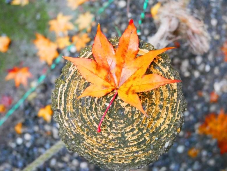 Maple | ののみやじんじゃ | 野宮神社 | 嵯峨野 | Kyoto | Kansai | Japan | RoundtripJp