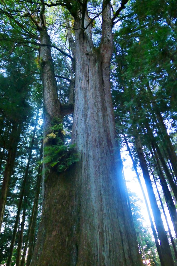 原名為萬歲檜神木 | 現名為千歲檜 | Thousand Year Cypress | 阿里山 | 嘉義 | 臺灣 | 巡日旅行攝