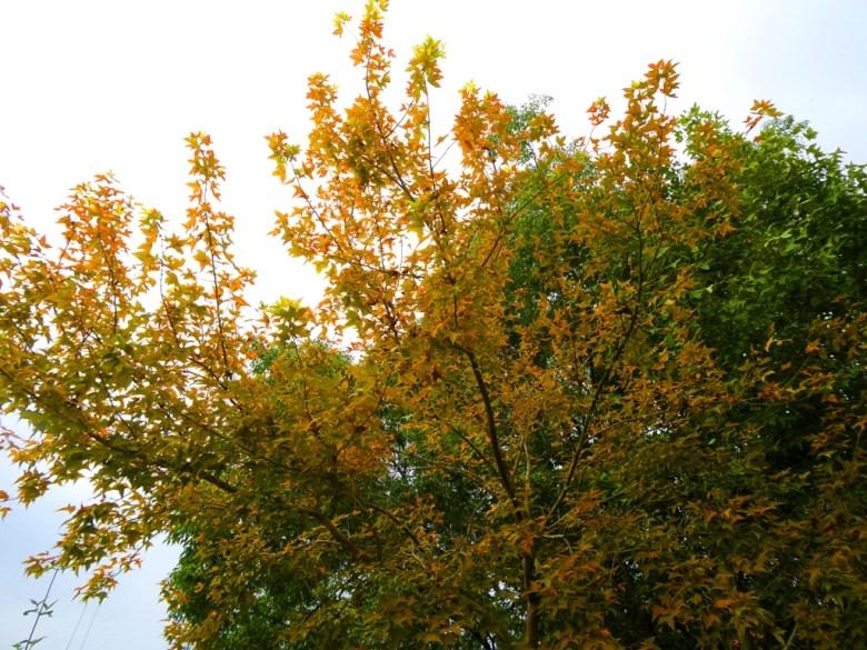 青楓 | 黃楓 | 未完全轉紅 | 楓葉 | 日式風情 | 溫泉區 | 關子嶺 | 臺南 | 臺灣 | 巡日旅行攝