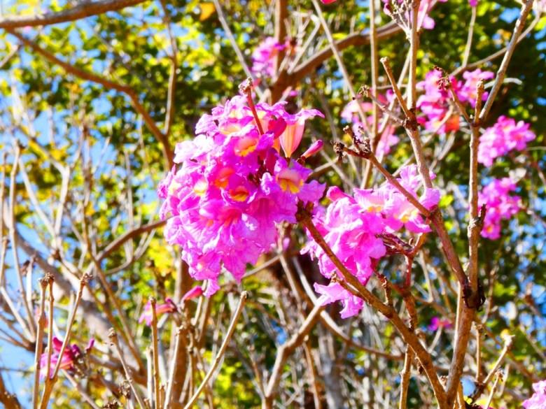 粉紅花咲 | 紅花風鈴木 | 洋紅風鈴木 | Tabebuia rosea | 大內國小校內神社遺跡 | 大內區 | 台南 | 臺灣 | Taiwan | 巡日旅行攝