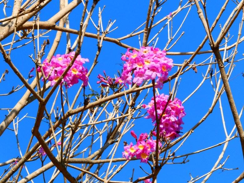粉紅色的浪漫 | 洋紅風鈴木 | Tabebuia rosea | 大內國小校內神社遺跡 | 大內區 | 台南 | 臺灣 | Taiwan | RoundtripJp