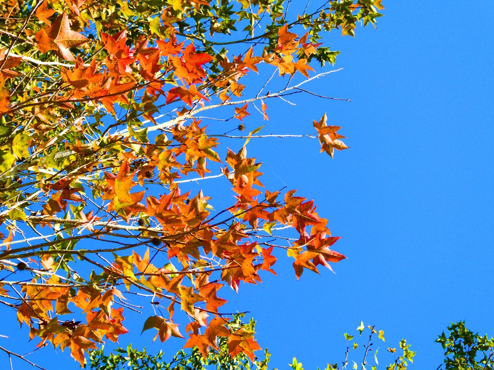 藍天紅葉 | 青空 | 楓香 | 三角楓 | 楓仔 | 大葉楓 | 大內國小校內神社遺跡 | 大內區 | 台南 | 臺灣 | Taiwan | RoundtripJp