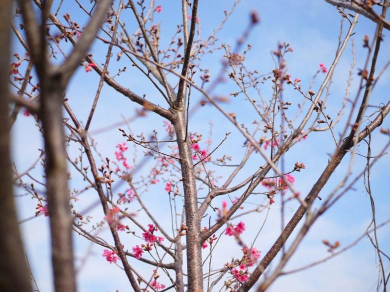 櫻花 | Sakura | 泰安派出所櫻花林 | 泰安 | 苗栗 | 一抹和風 | 巡日旅行攝