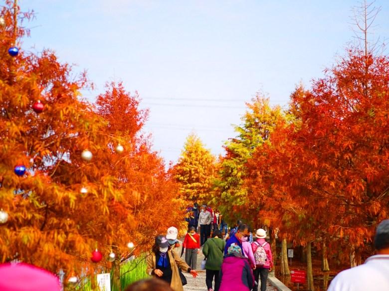 泰安羽粼落羽松 | 私人園區 | 美麗的紅葉 | 落羽杉 | 收費入園 | 泰安 | 苗栗 | 巡日旅行攝