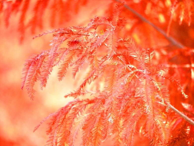 夢幻秋色 | 落羽松 | 落羽杉 | ラクウショウ | Taxodium distichum | Taian | Miaoli | 巡日旅行攝