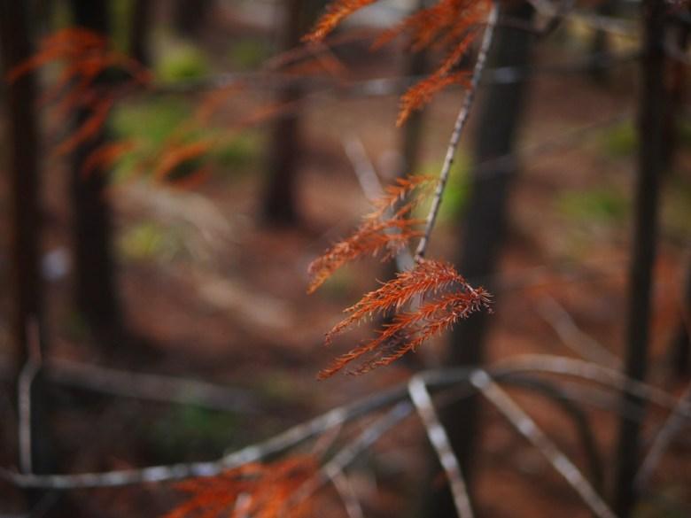紅色羽毛之葉 | 隱世秘境 | 大肚落羽松秘境 | 大肚 | 臺中 | 和風巡禮 | RoundtripJp