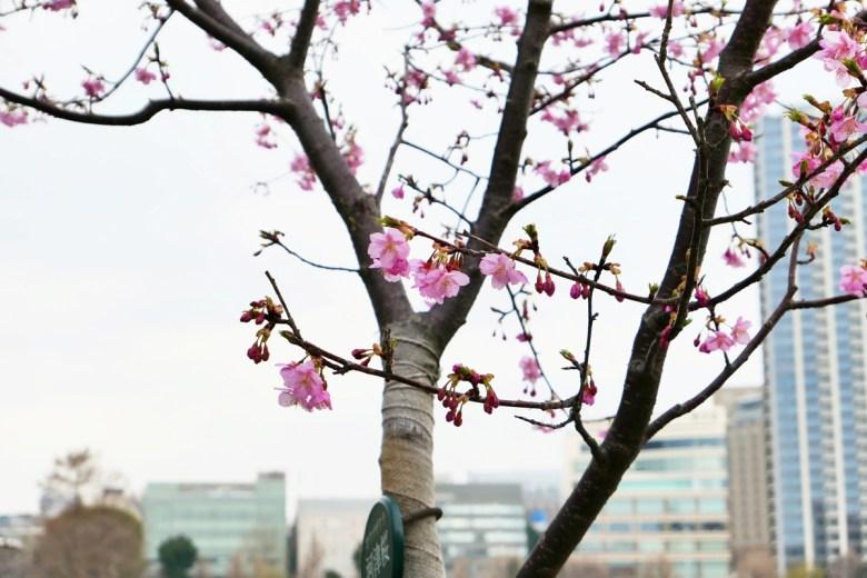Colorful Japan | 上野公園河津櫻 | 櫻花之國 | 花咲之國 | 日本的別稱 | RoundtripJp