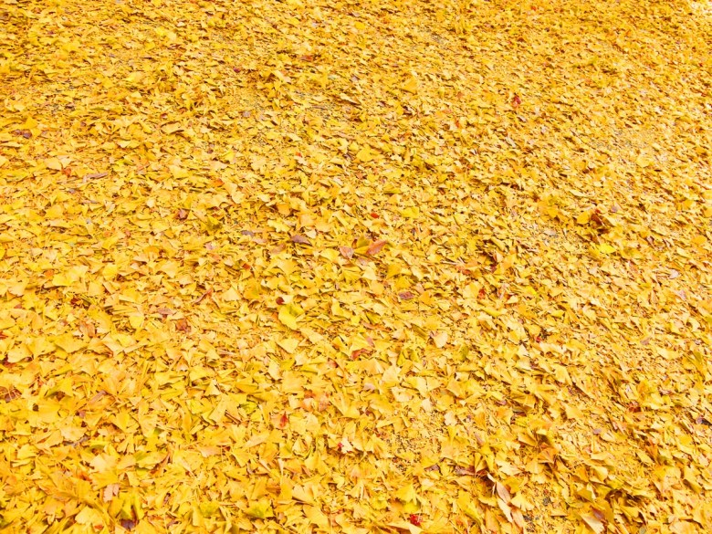 多彩日本 | 上野公園銀杏地毯 | 金黃之國 | 銀杏之國 | 日本的別稱 | 巡日旅行攝