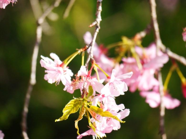 枝垂櫻 | 粉紅浪漫 | 大自然的禮物 | 九份二山七號觀景台第二賞梅區 | 國姓 | 南投 | 和風巡禮 | 巡日旅行攝