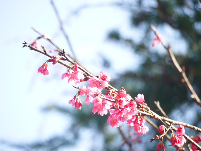 河津櫻 | 日本國花 | 粉粉嫩嫩 | 粉色 | 九份二山七號觀景台第二賞梅區 | 國姓 | 南投 | 一抹和風 | 巡日旅行攝