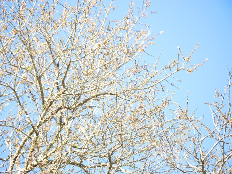 白梅花 | 臺灣國花 | 純潔的白 | 青空與潔白 | Plum blossom | 梅の花 |うめ | ウメ | Guoxing | Nantou | Wafu Taiwan | RoundtripJp