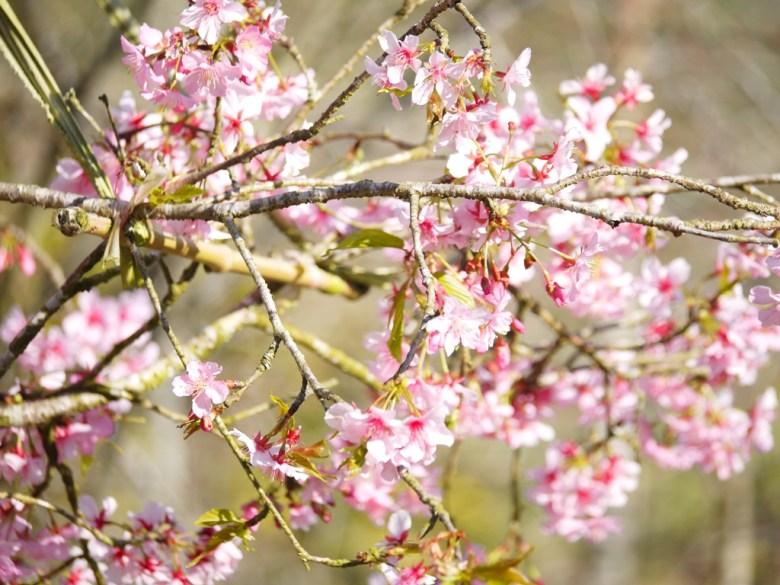 自然的美 | 枝垂櫻 | Sakura | Guoxing | Nantou | Wafu Taiwan | 巡日旅行攝