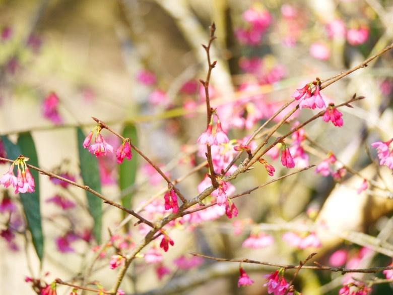山櫻花 | 桃紅般的豔麗櫻花 | Guoxing | Nantou | 和風臺灣 | RoundtripJp