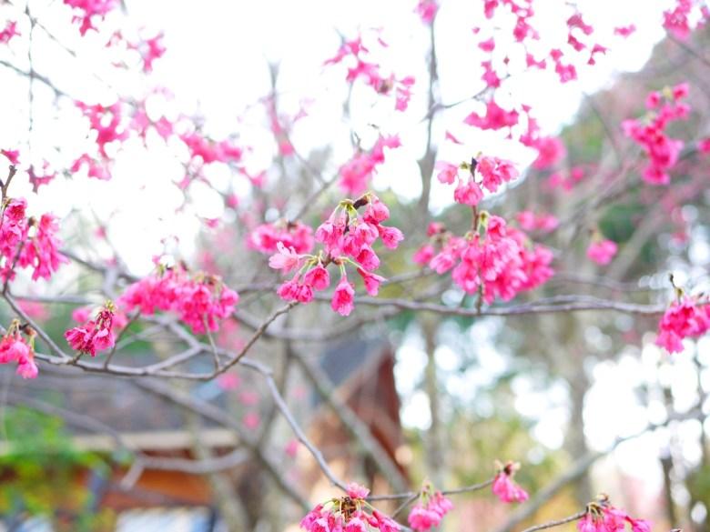 艷麗的山櫻花 | 第二停車場後方 | 八仙山國家森林遊樂區 | 和平 | 台中 | 和風臺灣 | RoundtripJp