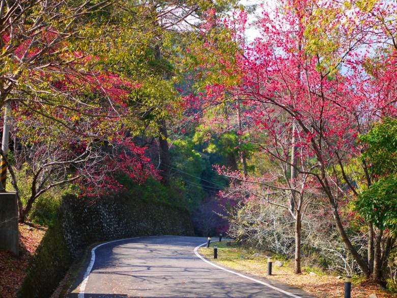 第二停車場入口前道路 | 清新自然的櫻花與林木道 | 八仙山國家森林遊樂區 | Basianshan National Forest Recreation Area | 巡日旅行攝