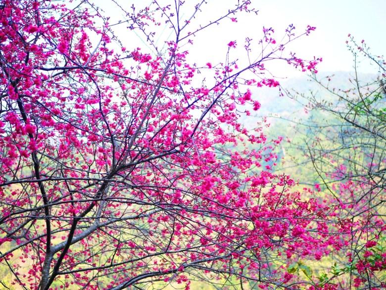 盛開的桃紅色山櫻花 | 緋寒櫻 | Basianshan National Forest Recreation Area | Heping | Taichung | RoundtripJp