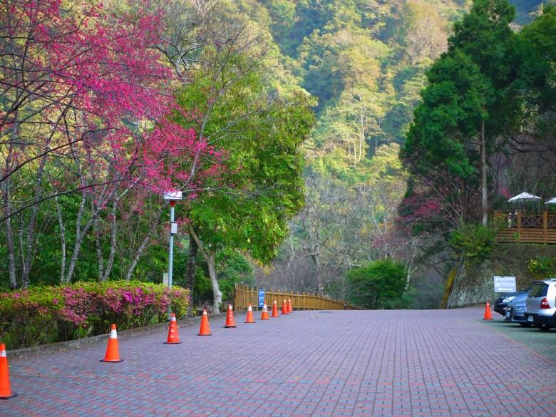 往下欣賞山櫻花 | 第一停車場 | First Parking Lot | Basianshan National Forest Recreation Area | Heping | Taichung | RoundtripJp