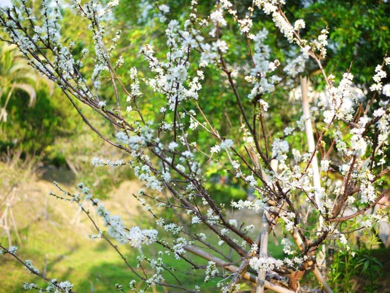美麗的梅花樹 | 雪白夢幻 | 賞梅勝地 | 梅山公園 | メイシャンこうえん | Meishan Park | 巡日旅行攝