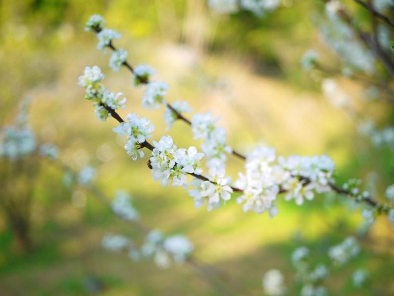 梅花特寫 | 小蜜蜂 | 潔白高雅 | メイシャンこうえん | 梅山公園 | 梅山 | 嘉義 | RoundtripJp