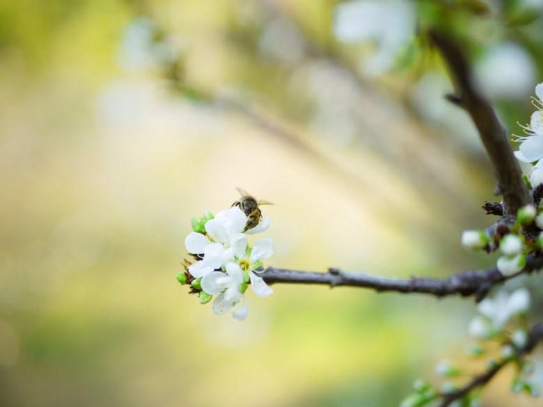 梅花與蜂 | 夢幻的梅花與自然 | 賞梅勝地 | 梅山公園 | メイシャンこうえん | Meishan Park | 巡日旅行攝