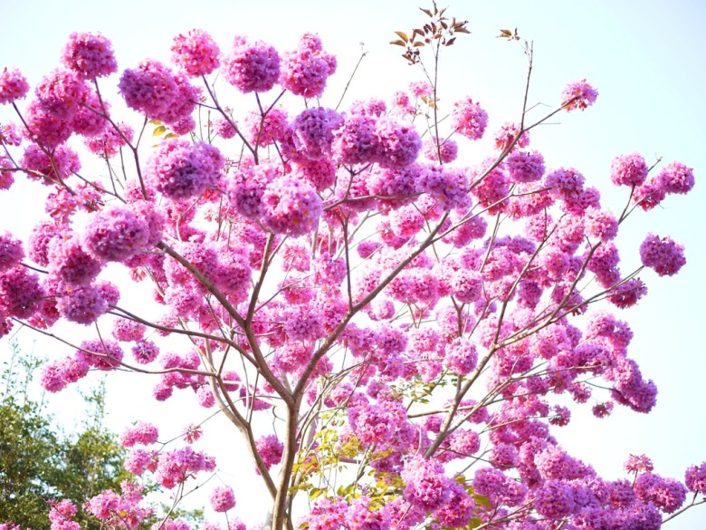 滿開的粉紅球花 | 夢幻迷人 | 粉紅色 | 洋紅風鈴木 | 梅山公園 | メイシャンこうえん | Meishan Park | 梅山 | 嘉義 | 巡日旅行攝