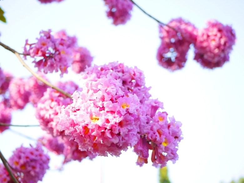 粉紅粉嫩 | 洋紅風鈴木 | 梅山公園 | メイシャンこうえん | Meishan Park | 梅山 | 嘉義 | RoundtripJp