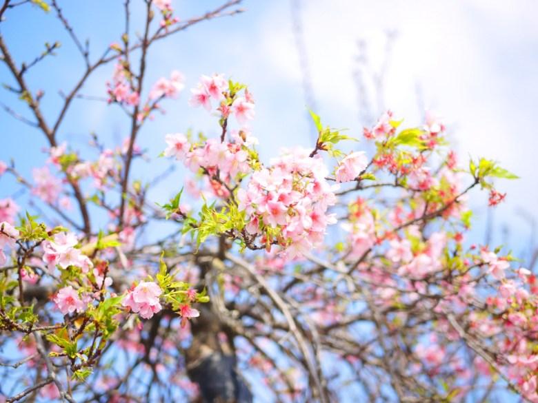 染井吉野櫻 | 絕美的粉紅櫻花 | 淡淡粉紅色 | 烏日 | 台中 | Wuri | Taichung | RoundtripJp