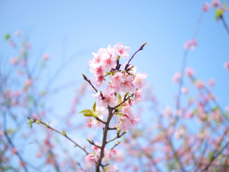 染井吉野櫻 | 淡粉紅 | 芬園花卉生產休憩園區主題櫻花 | 烏日 | 台中 | 巡日旅行攝