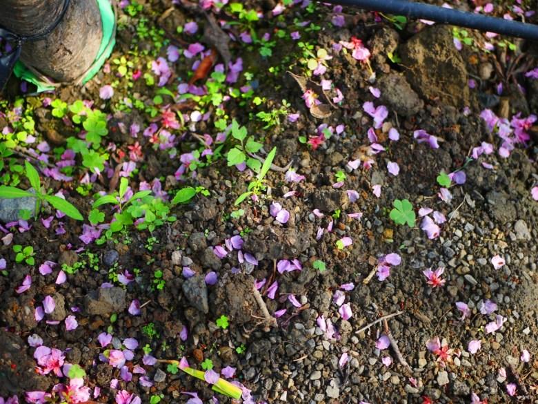 自然的氣息 | 土壤綠草紅花 | 落櫻紛飛 | 芬園花卉生產休憩園區主題櫻花 | 烏日 | 台中 | 巡日旅行攝