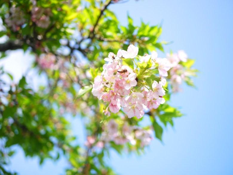 富士櫻 | 小蜜蜂 | 藍天綠葉粉花 | 清新宜人 | Sakura | さくら | サクラ | ウーリー | 巡日旅行攝