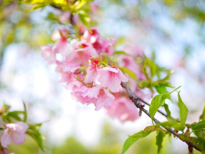 河津櫻 | 絕美櫻花 | 日本風情 | 芬園花卉生產休憩園區主題櫻花 | 烏日 | 台中 | 巡日旅行攝