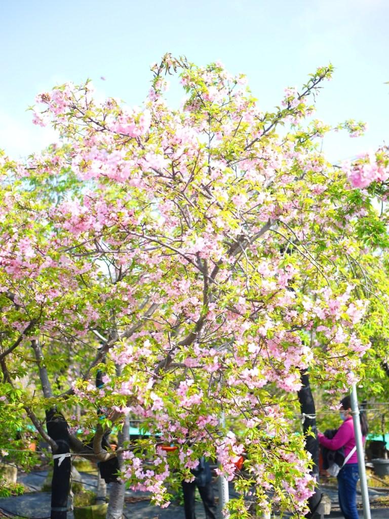 河津櫻 | 櫻花景點 | Sakura | さくら | サクラ | Wuri | Taichung | RoundtripJp