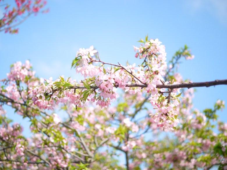 染井吉野櫻 | 日本風情 | 芬園花卉生產休憩園區主題櫻花 | 烏日 | 台中 | 巡日旅行攝
