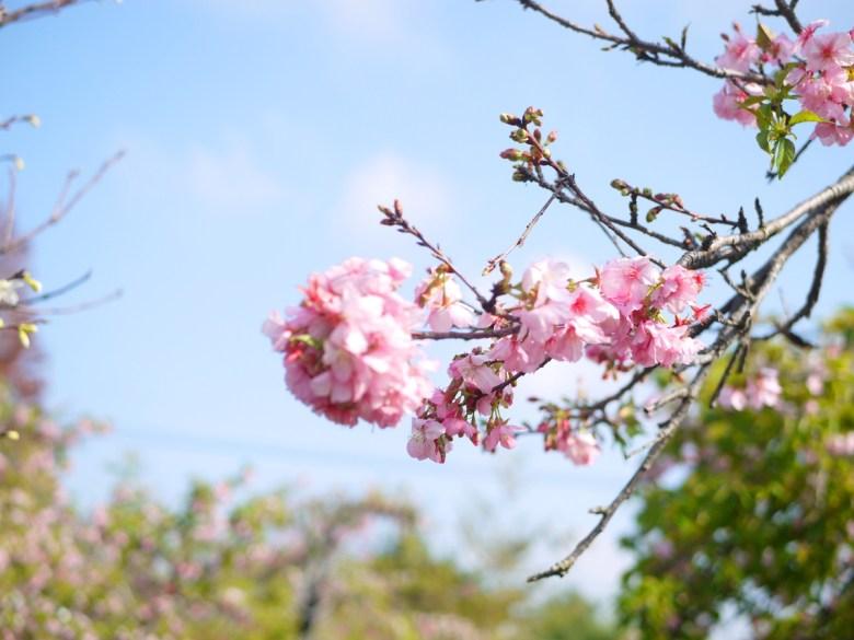 河津櫻 | 櫻花景點 | Sakura | さくら | サクラ | Wuri | Taichung | 烏日 | 台中 | 巡日旅行攝