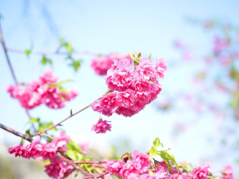 八重櫻 | 牡丹櫻 | 美麗的花色 | 芬園花卉生產休憩園區主題櫻花 | 烏日 | 台中 | RoundtripJp