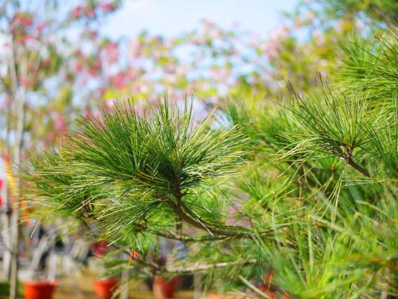 松葉樹 | 櫻花樹 | 芬園花卉生產休憩園區主題櫻花 | 烏日 | 台中 | RoundtripJp