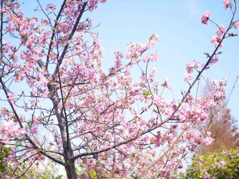 滿開的河津櫻 | 日本風情 | 芬園花卉生產休憩園區主題櫻花 | 烏日 | 台中 | 巡日旅行攝