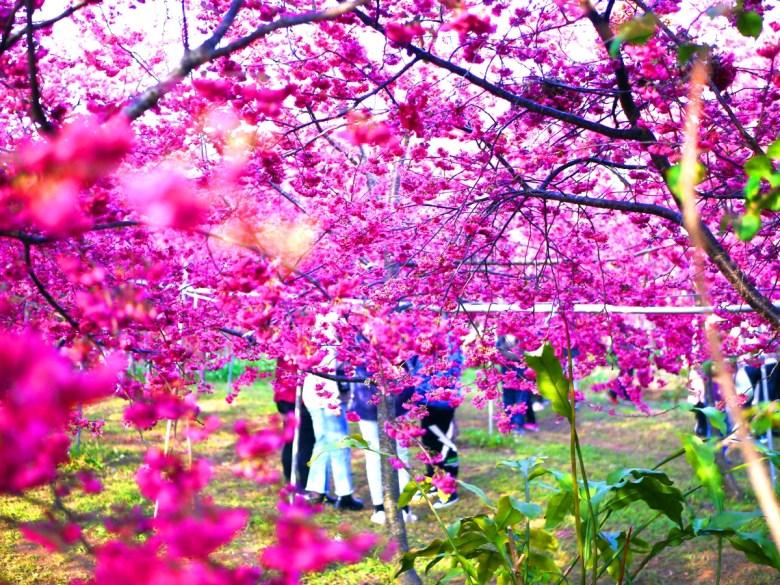 被滿滿櫻花環抱的粉紅世界 | 新社私人農家の櫻花秘境 | Xinshe | Taichung | 和風巡禮 | 巡日旅行攝