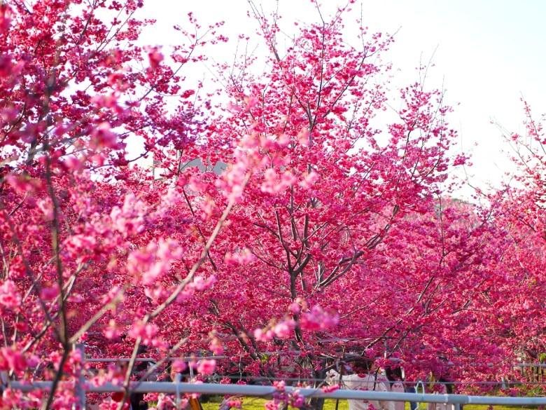 滿開的重瓣緋寒櫻 | 粉紅世界 | 新社區興社街一段200號 | 新社 | 台中 | RoundtripJp